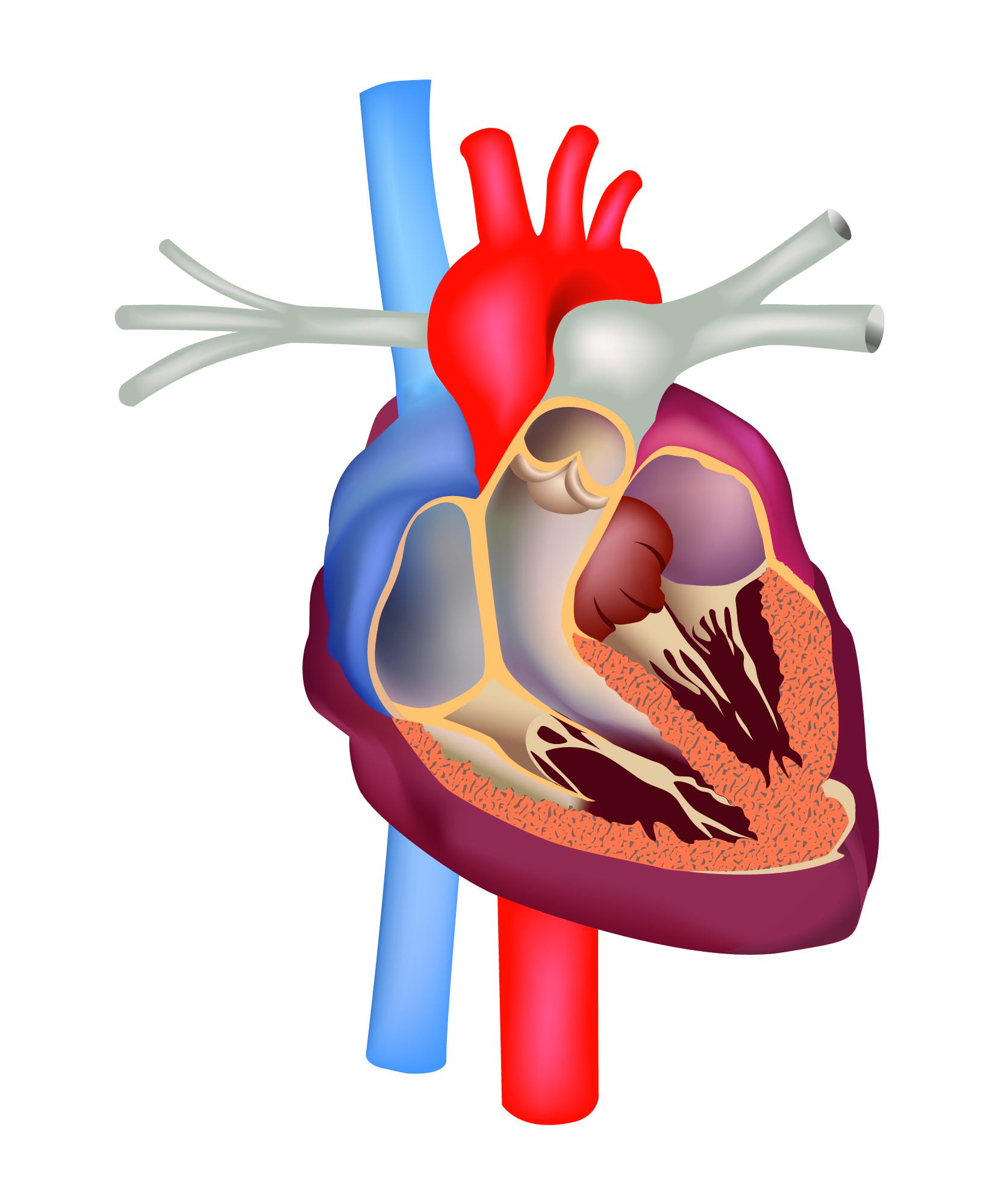 Válvula cardíaca