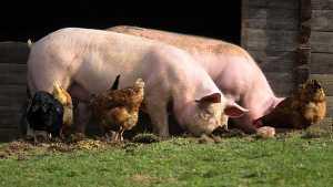 Porcos e galinhas no campo